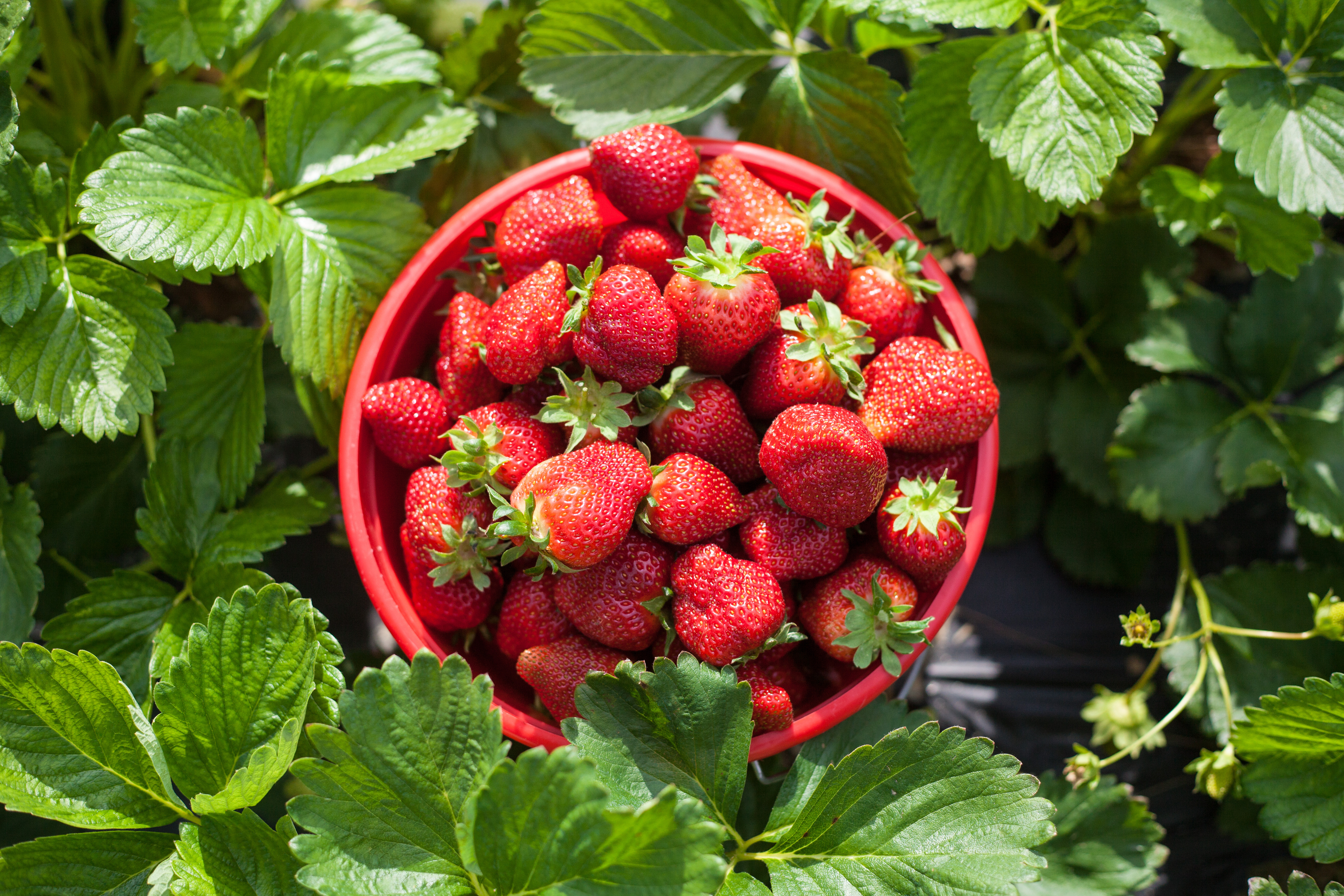 Achieve a healthy complexion by introducing strawberries into your diet