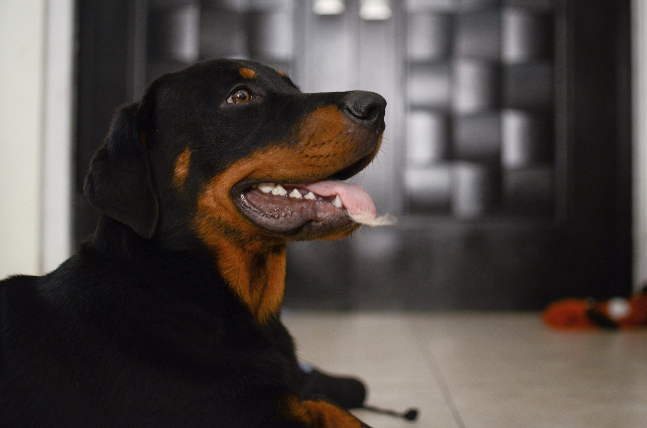expensive breeds of dogs
